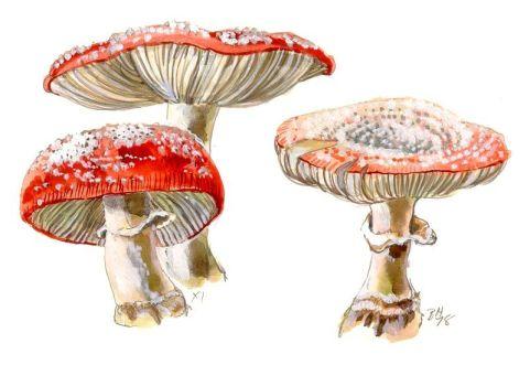 12-funghi